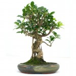 Banyan Fig